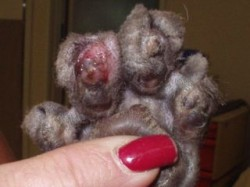 A cat's paw after declawing