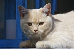 British shorthaired cat (not Majoor)