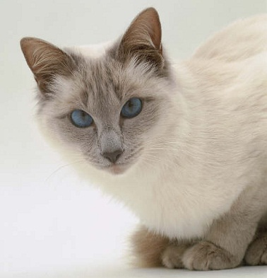 All about the Balinese cat breed | Cats Around The Globe