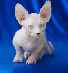 The bambino cat breed