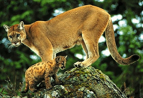 largest wild cat - photo #48