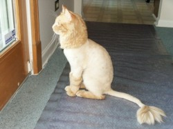 lion-cut lion cat