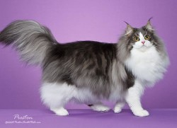 Norwegian Forest Cat Jami
