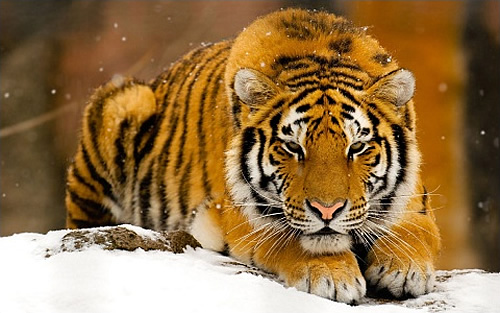 largest wild cat - photo #17
