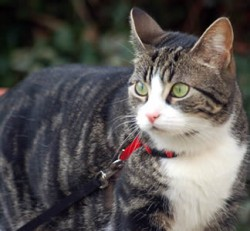 Walking your cat on a leash (harness) outdoors