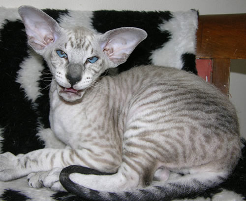 Ugly peterbald cat