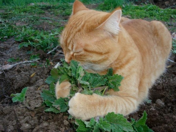 Image result for cat in catnip