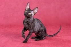 Cornish rex small cat - Anna U. Photography