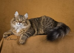 Siberian award winning cat Alexandra
